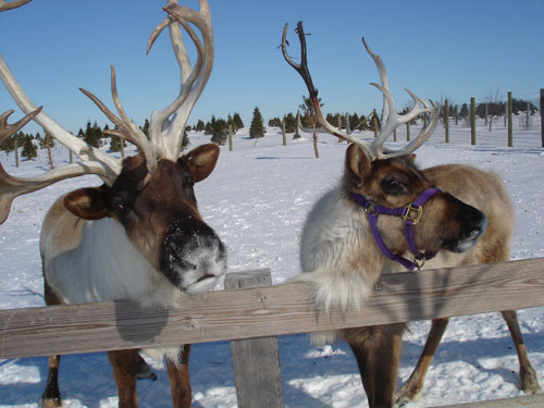 Hardy's Reindeer Ranch - Choose and cut Christmas trees,